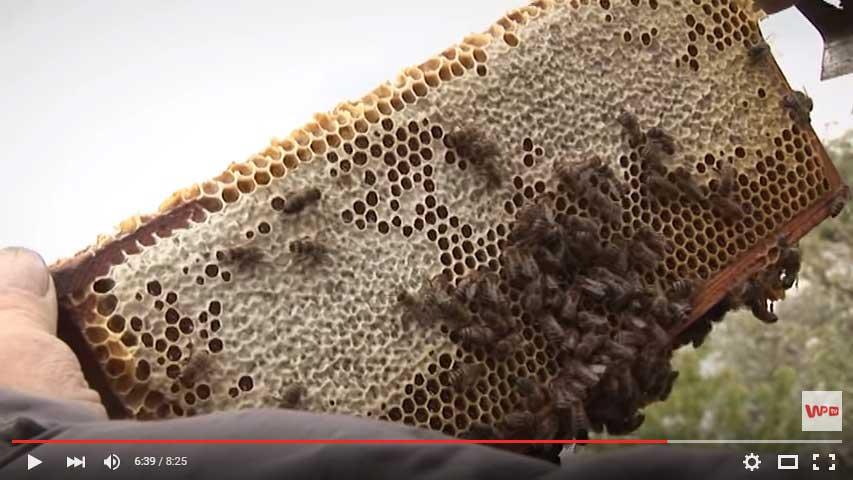 giną-pszczoły